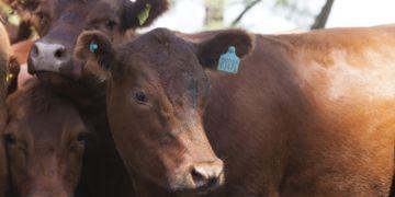 Ranchos, Provincia de Buenos Aires. Vacas con caravanas en un campo del Partido de General Paz.