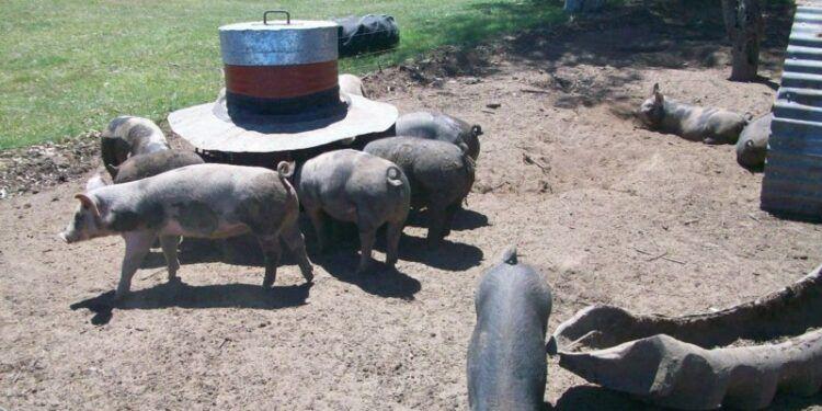 """Pequeños productores de cerdos presentaron una alternativa """"sustentable"""" frente al plan de las megagranjas para China"""